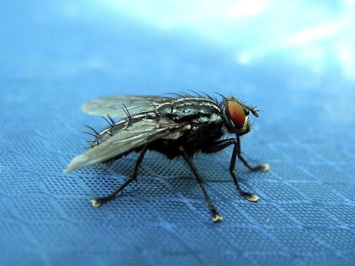 Housefly on blue texture